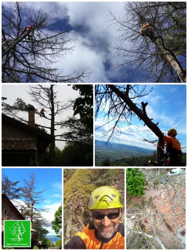 Abbattimento cedrus atlantica in tree climbing