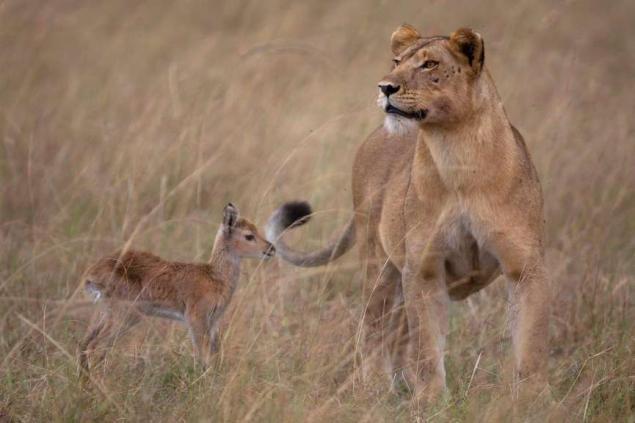 lion_adopts_antelope