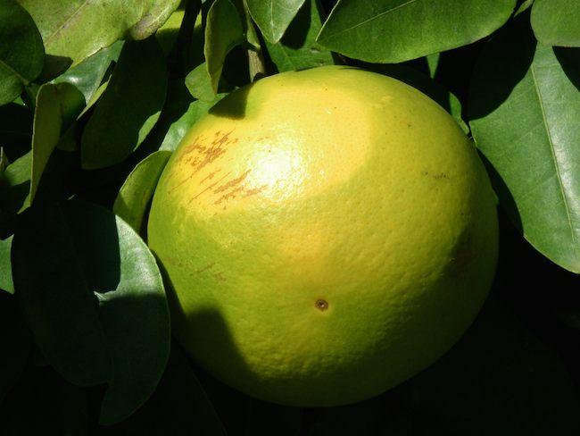 Florida grapefruit groves