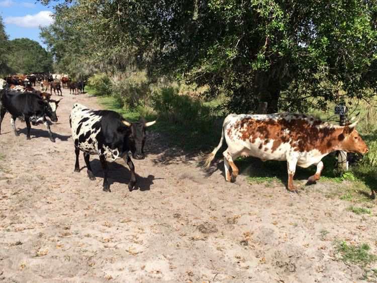 Florida cattle walking a dirt road