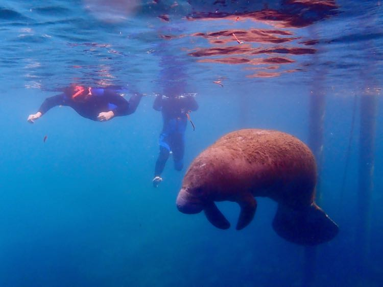 Swimming with Manatees Crystal River FL, photo by Explorida Adventures
