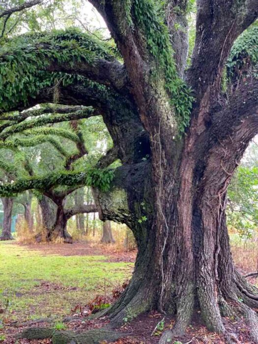 magnificent oak tree at Ardoyne Plantation