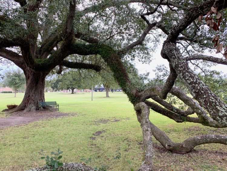 magnificent oak tree at Southdown Plantation