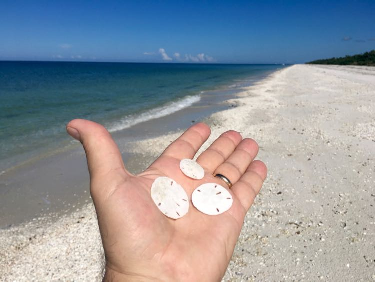 sand dollars on Keewaydin Island Florida