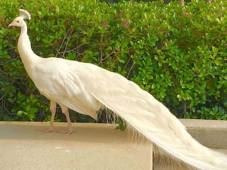 white peacock in St Augustine