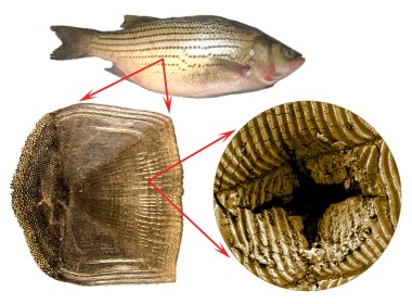 From the macroscopic to the microscopic level, fish scales are designed to protect. (photos provided by Barthelat's lab)