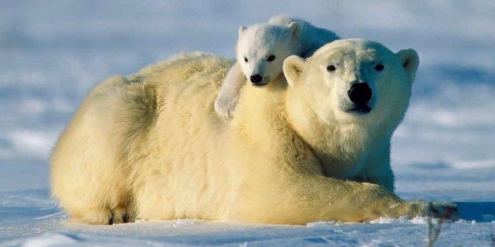 Unlike biologists, the Inuit have not observed a decline in polar bear populations recently (www.furtrimisatrap.com)