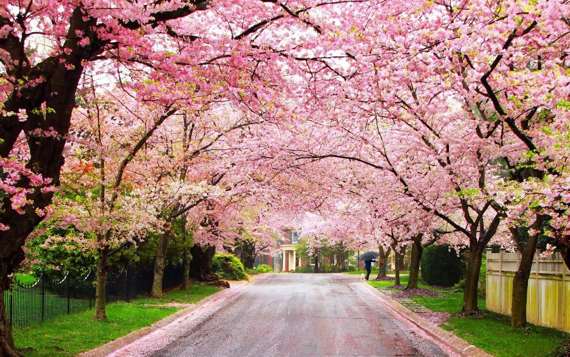 Image result for blooming trees in springtime