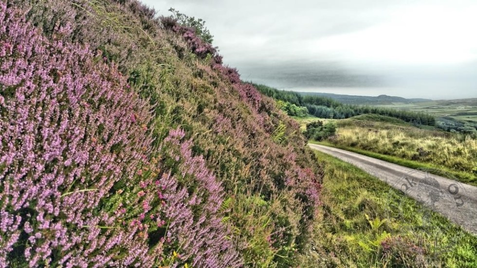 Heather starting to bloom in August