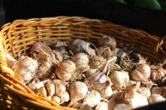 mcleod_creek_garlic