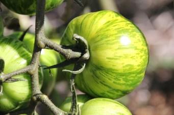Green zebra tomato