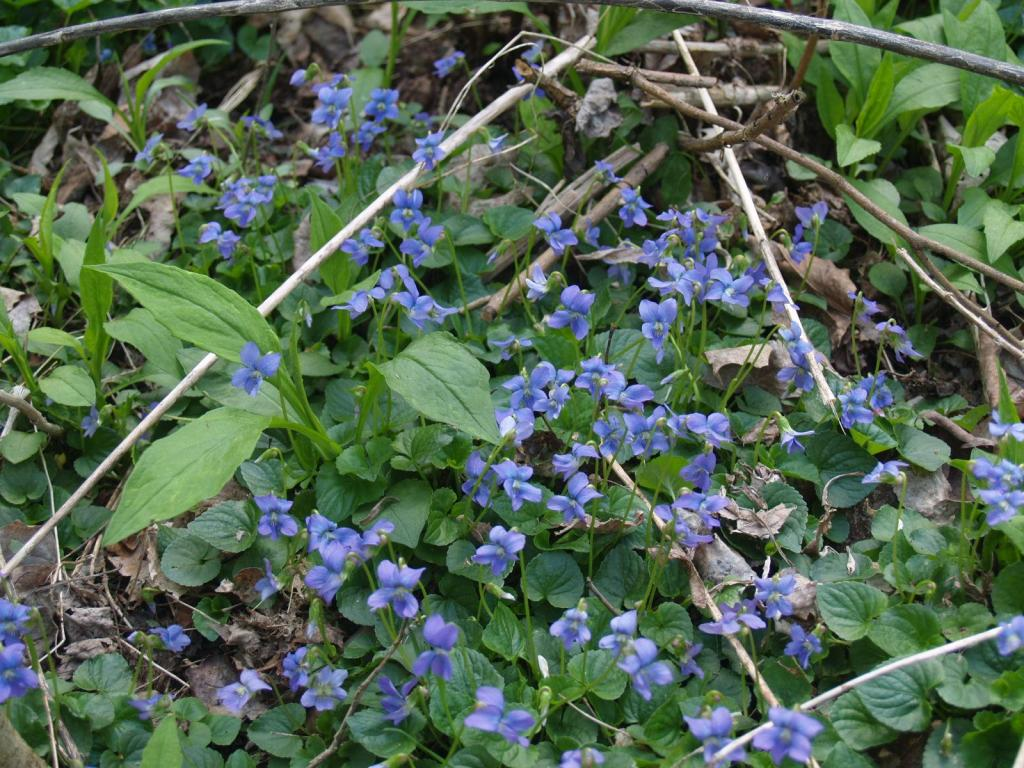 Picture of mass of Common Blue Violet (Viola sororia) in McMullen House Garden
