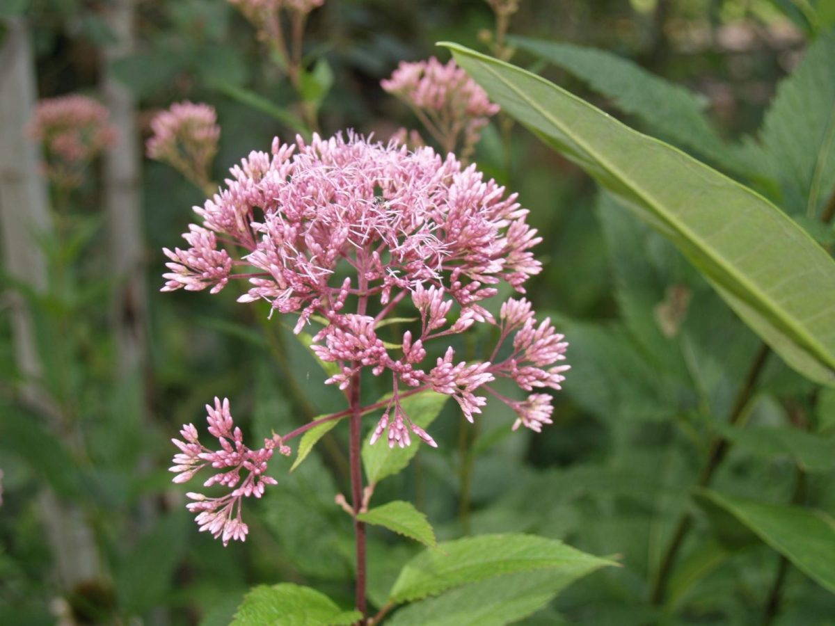 Picture of Spotted Joe-Pye-Weed (Eupatorium maculatum) in the Butterfly Garden