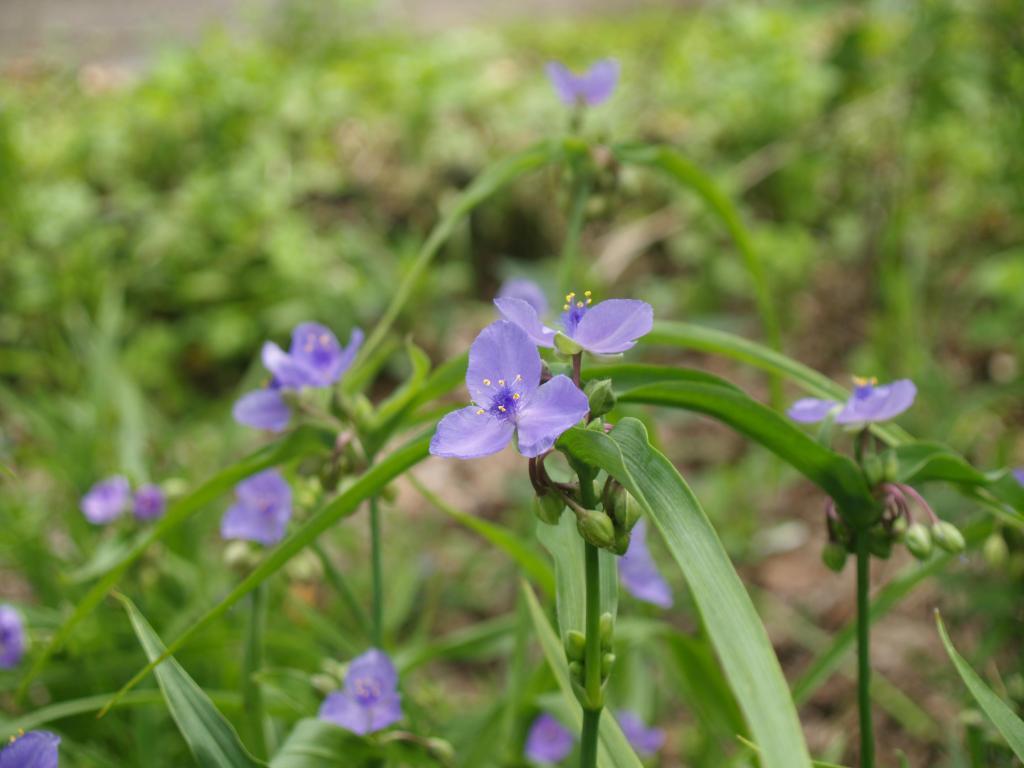 Picture of Spiderwort (Tradescantia virginica) in Monet Garden