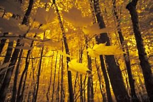 Fall Leaves, Ile Bizard