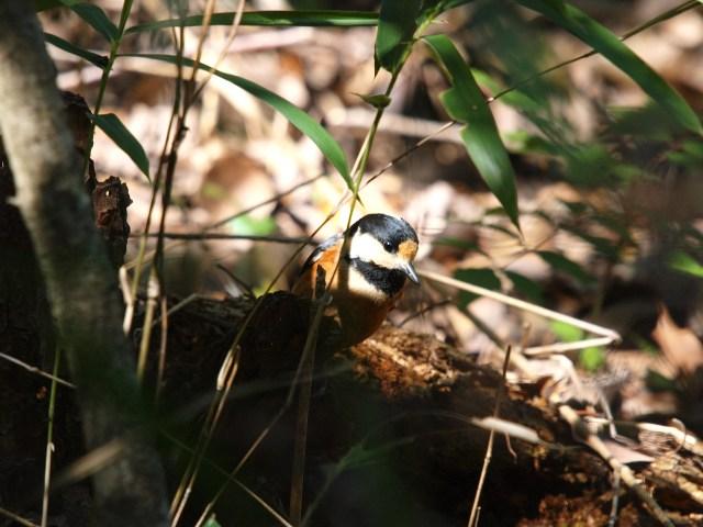 雌剛山のヤマガラ
