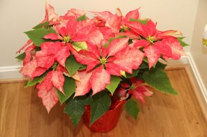 """Special"" variety from last year's Poinsettia Sale"