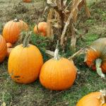 pumpkins_horiz
