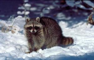 raccoon_on_snow