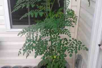 How to Grow a Moringa Tree