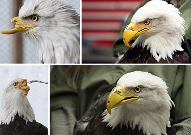 Resultado de imagem para a renovação da águia