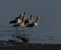 MARCHING Avocets On Parade, Merritt Island NWR, Titusville FL, John R Rivers
