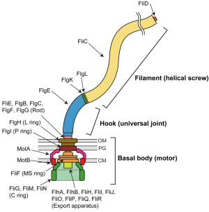 Biomolecules | Free FullText | Structure and Function of the BiDirectional Bacterial Flagellar