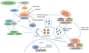 Cancers | Free FullText | mTOR Pathways in Cancer and Autophagy