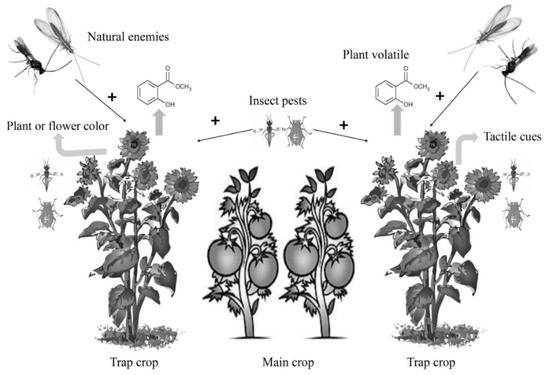 Insects Free Full Text Application Of Trap Cropping As