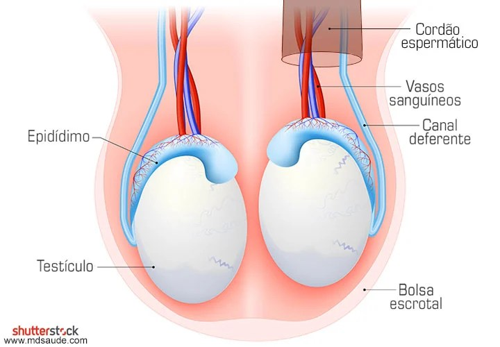 Anatomia dos testículos: testículos, epidídimo, canal deferente e cordão espermático.