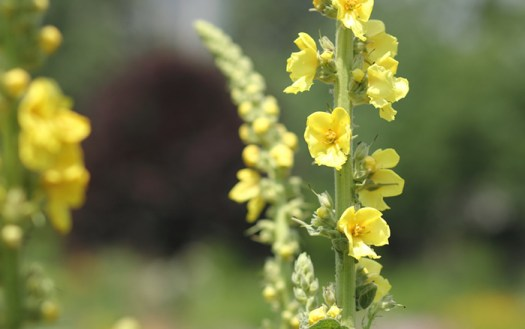 The bright yellow flowers of mullein on a thick green stalk. Mullein is a classic ingredient of smoking blends and spellcrafting.