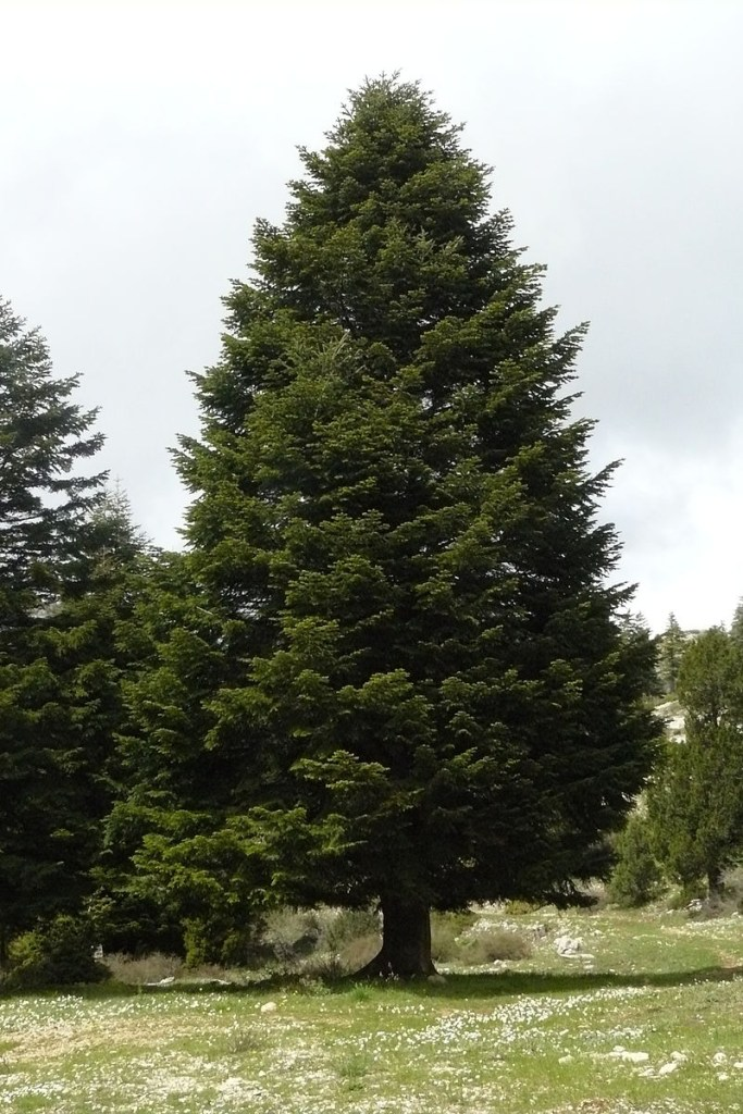 Taurus Fir, native to Turkey. A massive evergreen tree stands against a pale blue sky.
