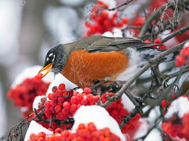 An adult red-breasted robin eats bright red berries from black branches covered in crisp, white snow.