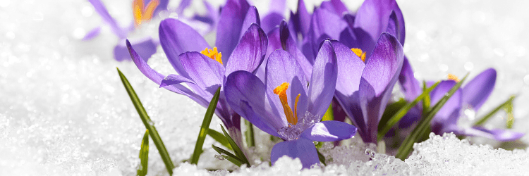 Images shows a small group of bright purple crocus flowers with deep golden stamen and thin green leaves, clustered together, defiantly blooming up out of crisp, white snow. This is a classic symbol of the Pagan holiday Imbolc, from the Wheel of the Year.