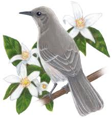 Florida State Bird and Flower: Mockingbird and Orange Blossom