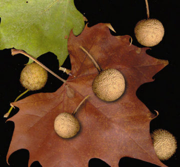 Sycamore Tree leaf and fruit