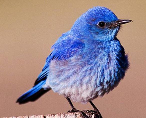 blue bird4