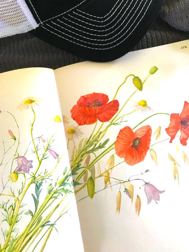 August Poppy's growing in a field