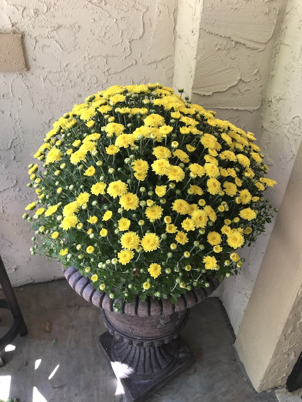 yellow mum plants go well with pumpkin colored mums.