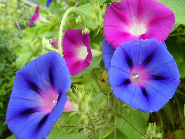 Beautiful morning glory flowers reflect the month of September.
