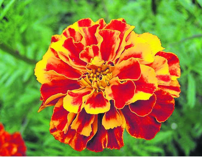 October marigold flower