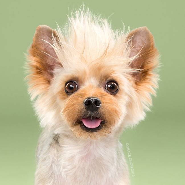cabeleireiros-e-o-dom-de-deixar-um-cachorro-irreconhecivel14