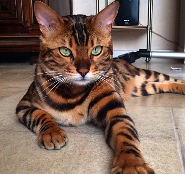 thor-o-gato-do-pelo-perfeito1