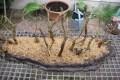 Bosbeplanting