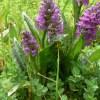 Foto Gevlekte Orchidee: Toos Brink