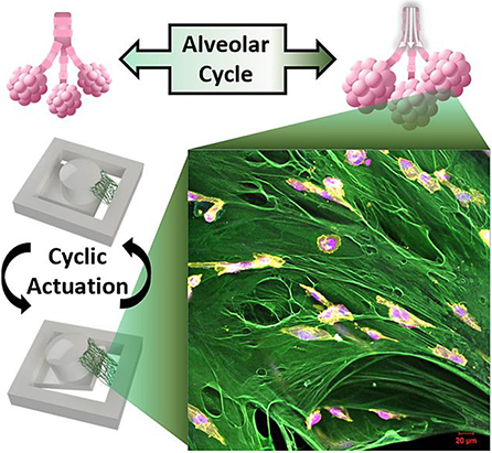 Cell Culture System Mimics Effects of Lung Motion on Cancer Metastases 2