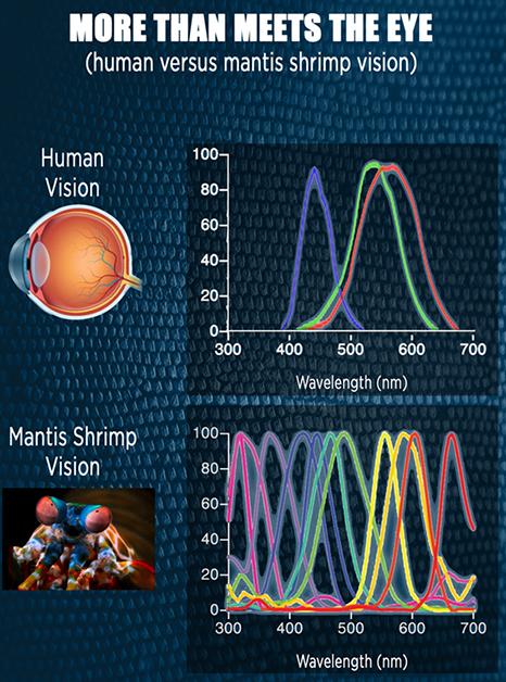 Mantis Shrimp-Inspired Camera to Detect Tumors During Surgery 4
