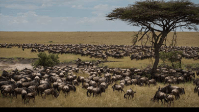 Photo of NEMA shuts hotels on wildebeest migration corridor