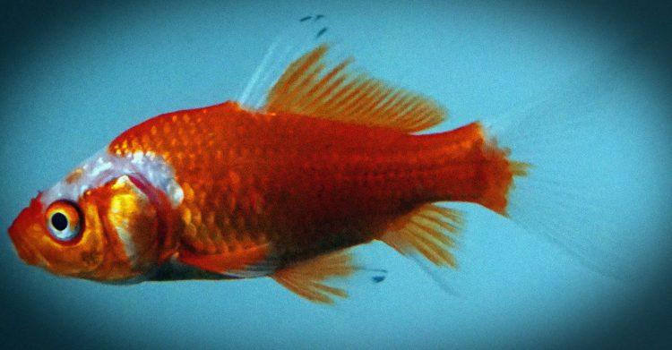 Nous avons l'attention d'un poisson rouge