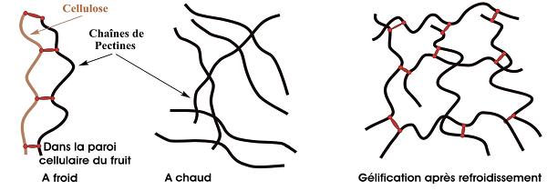 La gélification après dissociation à chaud des chaînes de pectines